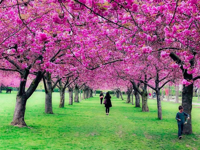 cerejeiras em nova york